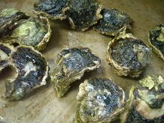 uwajima_oyster2y1.JPG