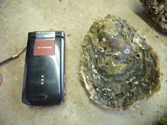 uwajima_oyster3y2.JPG